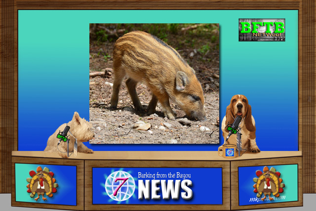 BFTB NETWoof News report on wild boar piglet.