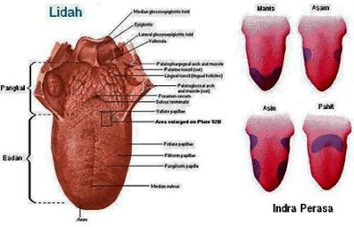 Indra Pengecap Dan Reseptor Lidah