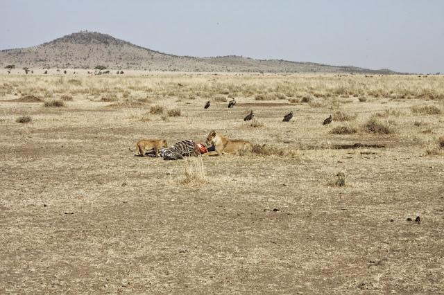 tansania safari afrikka matka saalis