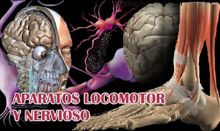 http://ceiploreto.es/sugerencias/averroes/manuelperez/udidacticas/udanatomia/nervioso/index.htm