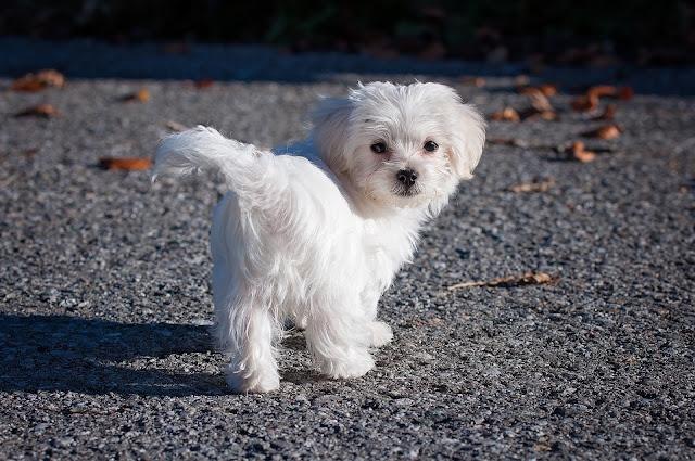 White Dog Breeds List, Italy Dog Breeds