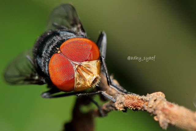 cara mengatasi sumber lalat