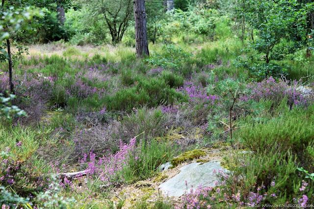 Paysage typique des landes du Pays de Fontainebleau avec ce mélange de Callune et Bruyère.