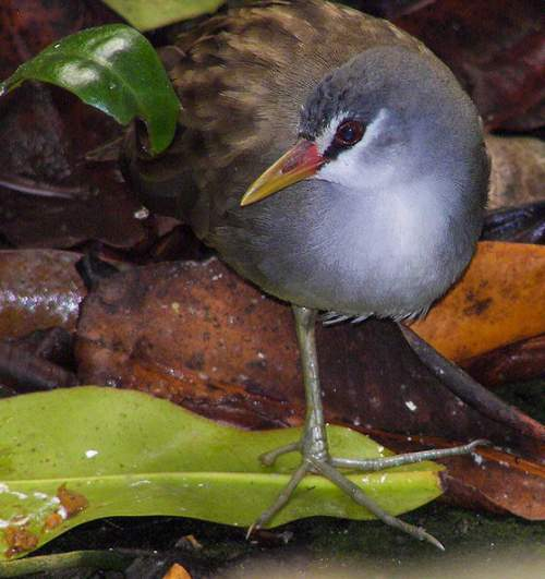 Indian birds - White-browed crake - Amaurornis cinerea