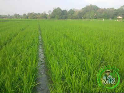 FOTO 3:  Tanaman padi Trisakti Pak Eko Umur 40 HST    di sawah Pringsewu, Lampung