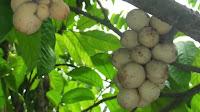 fruit around the world, strange fruit, strange fruit around the world, crazy fruit, crazy fruit around the world, LANGSAT