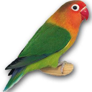 14 Inspirasi Paling Baru Gambar Burung Lovebird Hijau