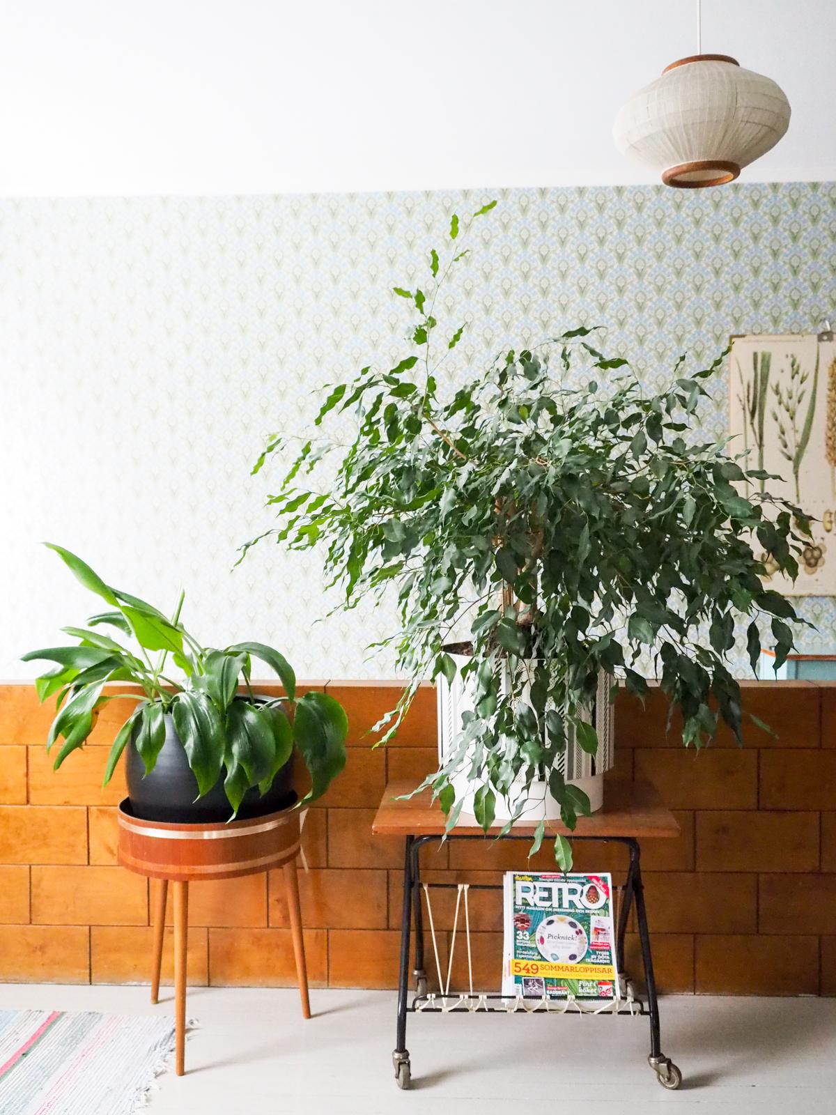 vanha limoviikuna, amatsoninlija, viherkasvi