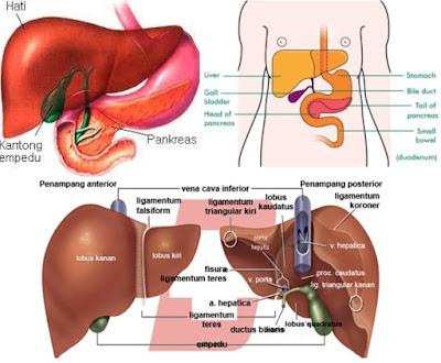 Pengertian Hati, Fungsi Hati, Struktur Bagian Hati Serta Fungsinya - Pengertian Hati adalah suatu organ intestinal terbesar dengan berat antara 1,2-1,8 kg atau kurang lebih 2,5% berat badan orang dewasa yang menempati sebagian besar kuadran kanan atas abdomen dan merupakan pusat metabolisme tubuh dengan fungsi yang sangat kompleks (Amirudin,2006). Diketahui bahwa organ yang satu ini merupakan organ terbesar yang terletak di kuadran kanan atas rongga abdomen. Selain itu, fungsi hati dalam menunjang aktivitas terdapat fungsi yang begitu penting dan berbeda-beda.  Hal itu terjadi, tergantung pada sistem darahnya yang unik dan sel-selnya yang sangat khusus.  Hati merupakan kelenjar terbesar dalam tubuh, yang mempunyai fungsi yang sangat banyak dan kompleks. Hati penting untuk mempertahankan hidup karena hampir setiap fungsi metabolisme tubuh memerlukan hati (Hushada,1996) Fungsi - Fungsi Hati  Menurut Guyton (2007) bahwa Hati adalah sebuah kelenjar terbesar dan kompleks dalam tubuh, berwarnamerah kecoklatan, yang mempunyai berbagai macam fungsi, termasuk perannya dalam membantu pencernaan makanan dan metabolisme zat gizi dalam sistem pencernaan.  Secara fisiologis, fungsi utama dari hati adalah:  1. Membantu dalam Metabolisme Karbohidrat Fungsi hati menjadi penting, karena hati memiliki fungsi dalam mengontrol kadar gula dalam darah.  Selain itu, Hati juga berperan membantu pemecahan fruktosa dan galaktosa menjadi glukosa dan serta glukosa menjadi lemak.  2. Membantu Metabolisme Lemak Membantu proses Beta oksidasi. Maksud dari hal ini sebagai fungsi hati diartikan bahwa Hati mampu menghasilkan asam lemak dari Asetil Koenzim A. Mengubah kelebihan Asetil Koenzim A menjadi badan keton (Ketogenesis). 3. Membantu Metabolisme Protein Fungsi hati dalam metabolisme protein adalah dalam deaminasi (mengubah gugus amino, NH2) asam-asam amino agar dapat digunakan sebagai energi atau diubah menjadi karbohidrat dan lemak.  4. Menetralisir Obat-Obatan dan Hormon Hati memiliki fungsi s