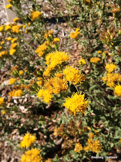 Isocoma menziesii (Coast Golden Bush, Menzie's Goldenbush)