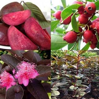Cây giống ổi tím, cây ổi tím ươm gieo hạt, ổi tím ghép. trồng ăn, trồng làm cảnh.