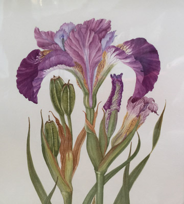 Iris Sibirica by Ruth Kirkby GM