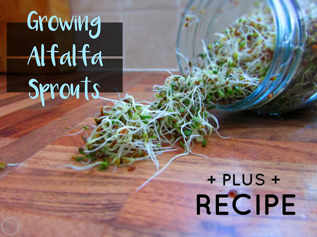 My General Life - Growing Alfalfa Sprouts plus Recipe Vegan - Indigo Herbs