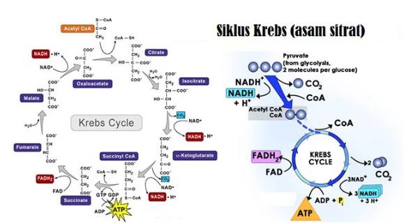 Pengertian, Fungsi, Tahapan dan Hasil Siklus Krebs Terlengkap