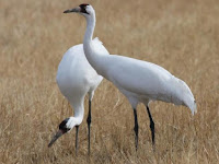 Crane Bird Animal Pictures