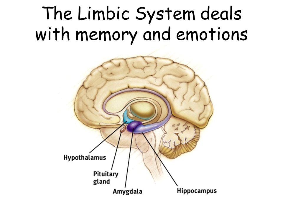 EXAMS AND ME : Limbic System