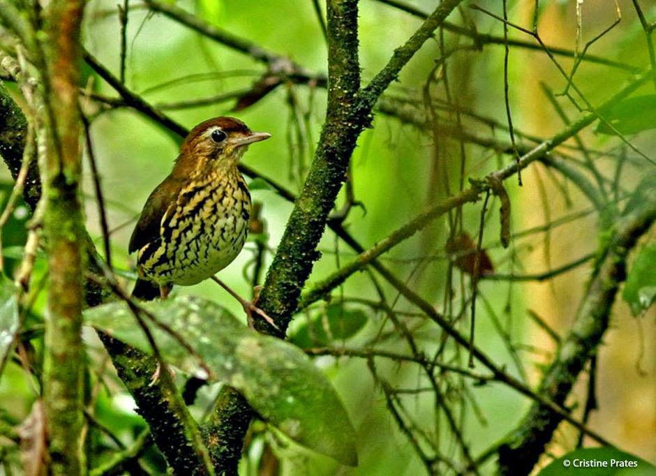Short tailed Antthrush