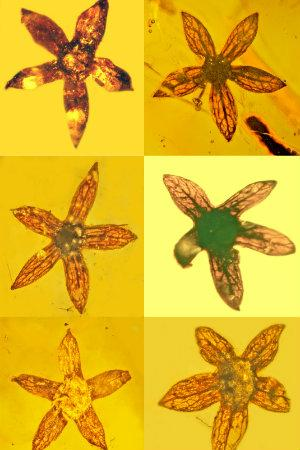 Seven complete specimens of new flower, all 100 million years old