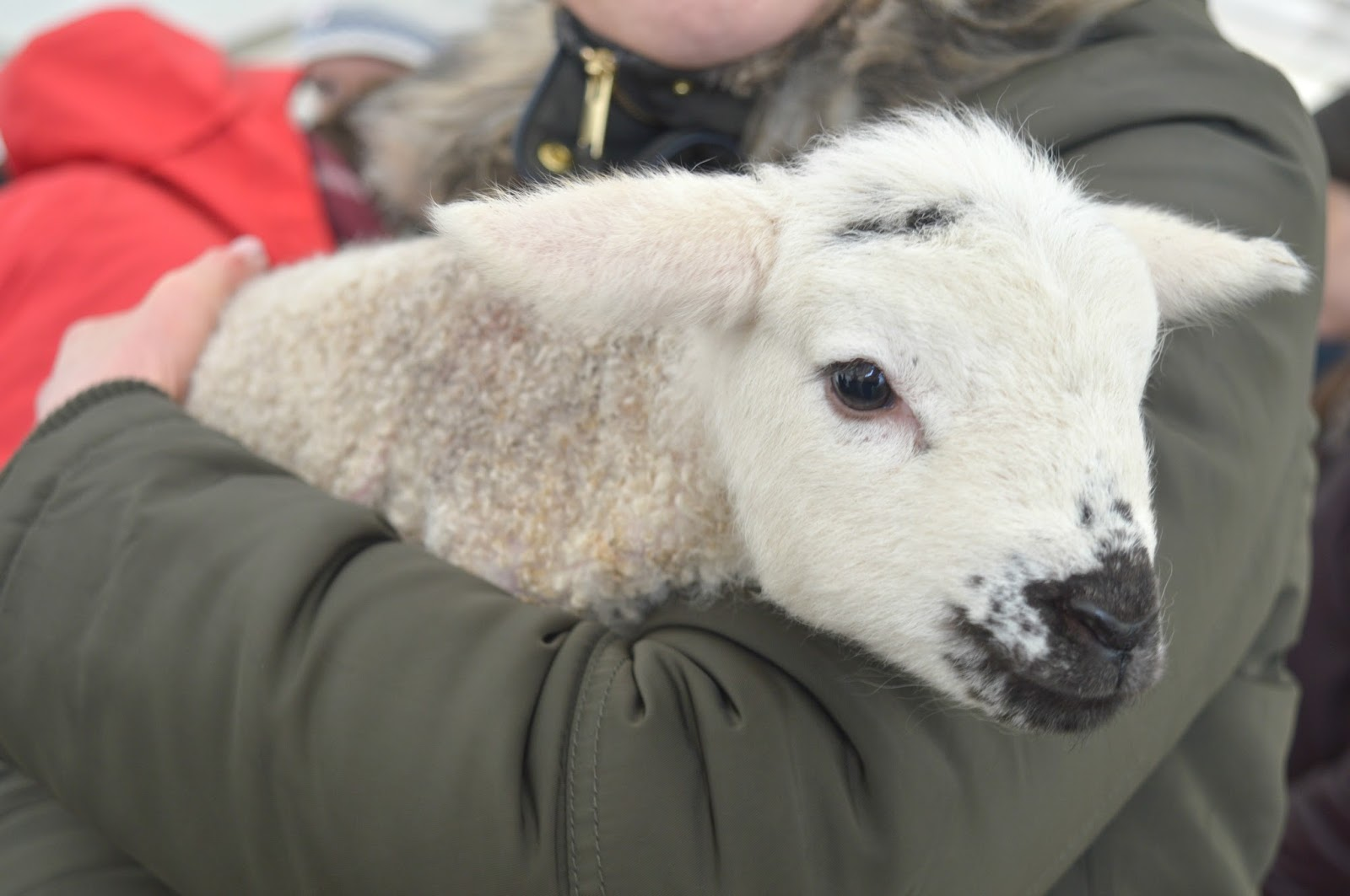 Lambing Live Broomhouse Farm, Northumberland with National Trust Wallington