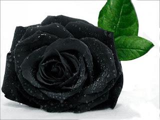 Hoa hồng đen