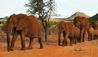 Come si fa a salvare gli elefanti in Kenya? Bruciando l'avorio