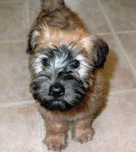 Learn These Soft Coated Wheaten Terrier Puppies Near Me {Swypeout}