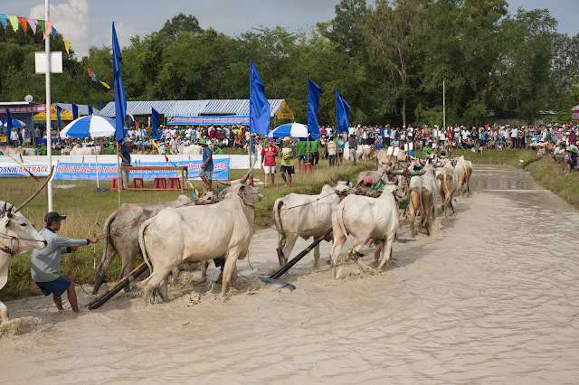 Các đôi bò dạo quanh trường đua chào khán giả