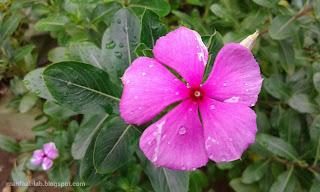 Bunga geranium tapak dara untuk pengusir nyamuk