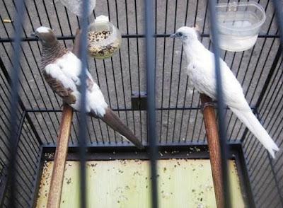 Berbagai Jenis Pakan Burung Perkutut Berkualitas Serta Harga Terbarunya
