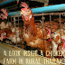 ├ⒺⓍⓉⓇⒶⓈ┤ A Look Inside A Chicken Farm In Rural Thailand