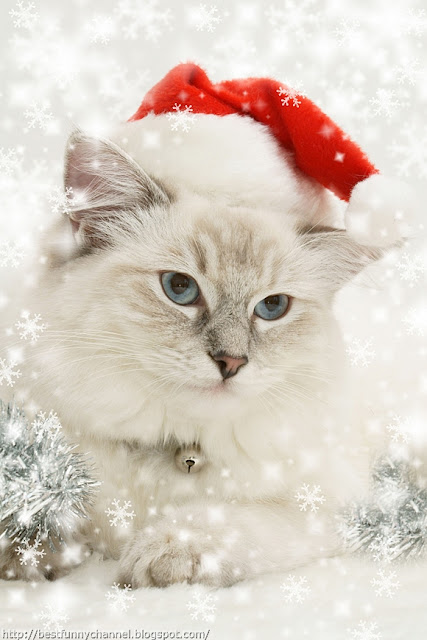 Cute Christmas cat.