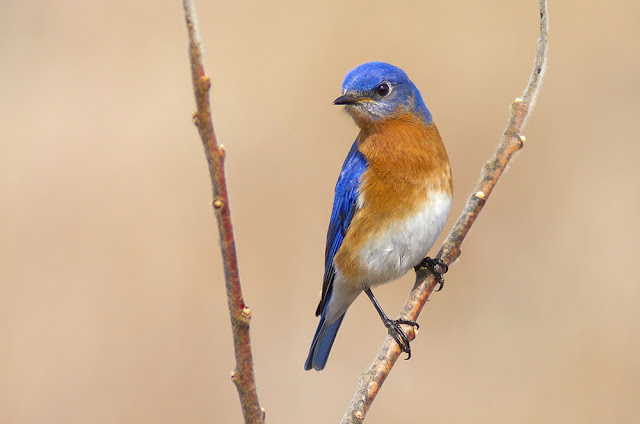 Where to find Eastern bluebirds in Ontario