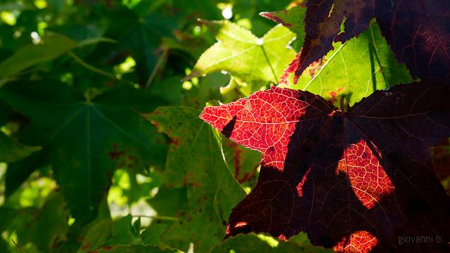 Foglie di vigna in autunno, in controluce