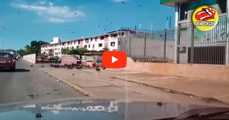 Hay tanta basura en Anzoátegui que los Zamuros han invadido las calles