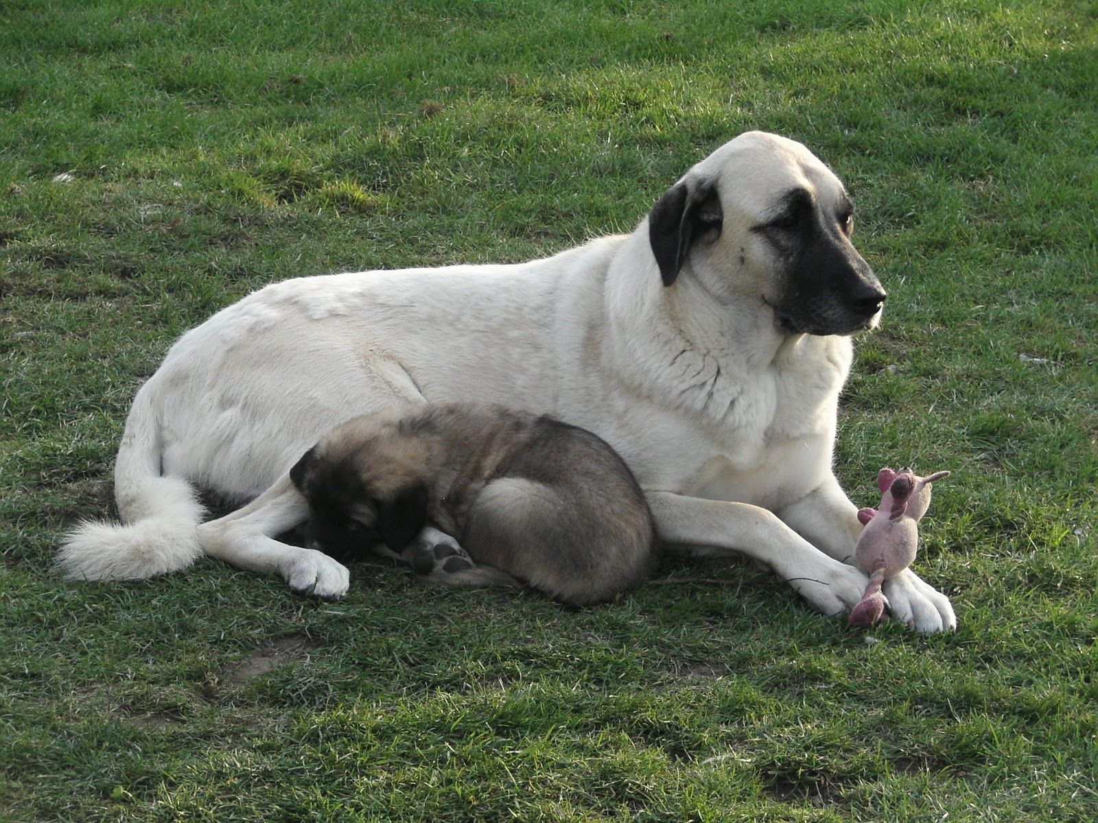 Asalet Anatolian Shepherd Dogs Home of the Turkish Kangal ...