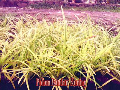 POHON PANDAN KUNING