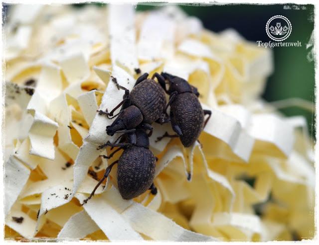 Gartenblog Foodblog Topfgartenwelt Dickmaulrüssler bekämpfen: Dickmaulrüssler Falle mit Holzwolle