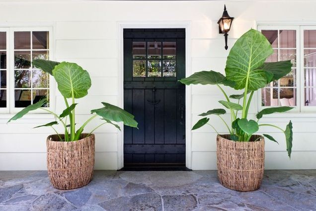 large planters black door elephant ears container gardening