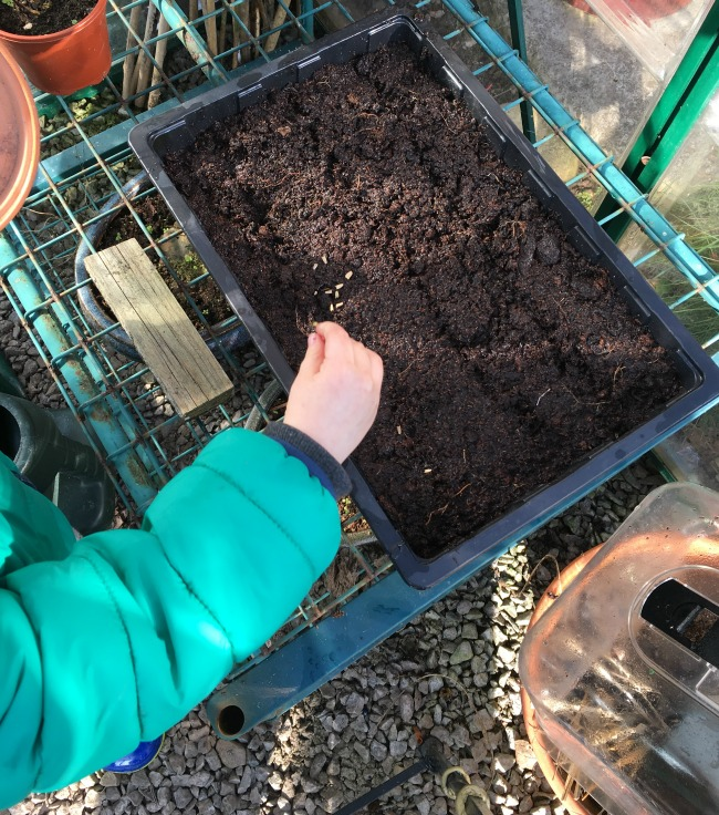 How-to-Sow-Seeds-for-Absolute-Beginners-image-of-toddler-sowing-seeds-into-drills