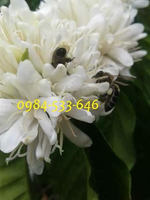 Ong hút mật hoa cà phê