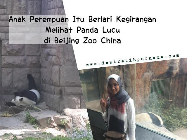 giant panda beijing zoo