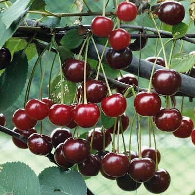 Bán cây cherry Úc - Cây trưởng thành cho trái