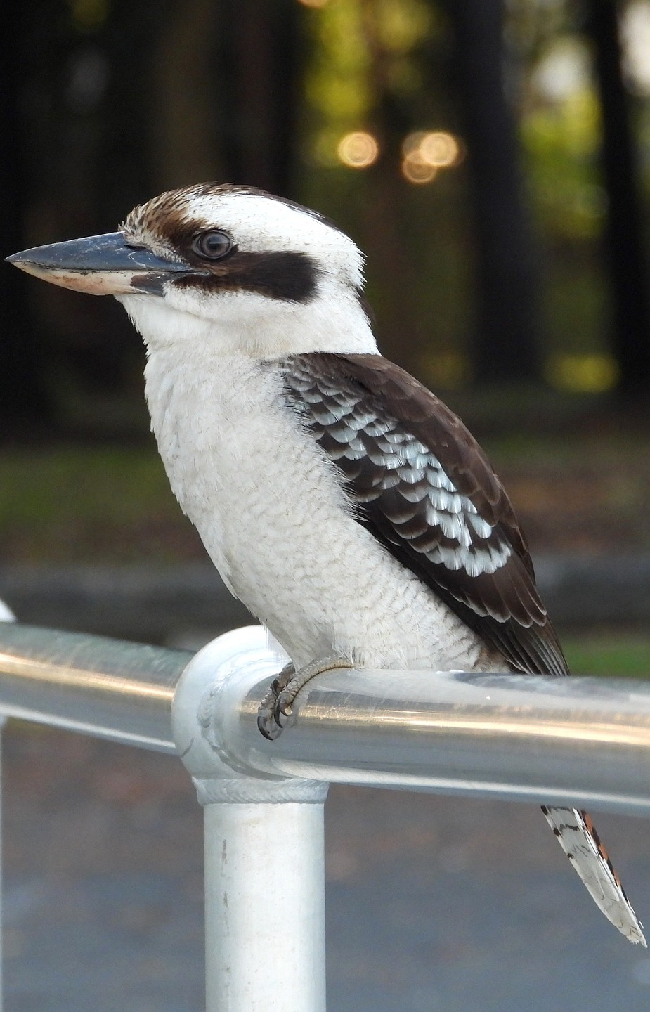 Picture of a kookaburra.