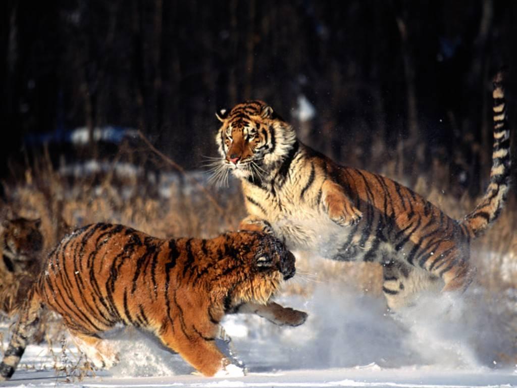 Cute Ducks In Water Wallpaper Dangerous Tigers Wild Animal Wild Life