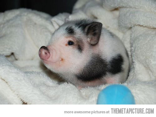 nothing to see here just a tiny piglet