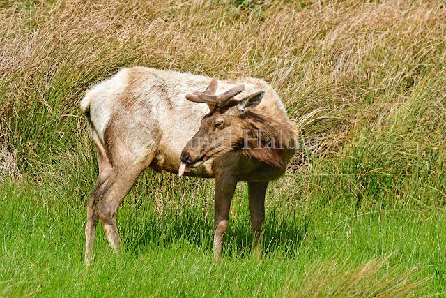 Tule Elk showing BIG Tongue