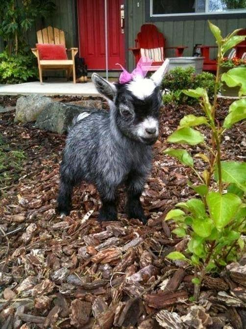 The Pygmy Goat - Not So Gruff   The Ark In Space