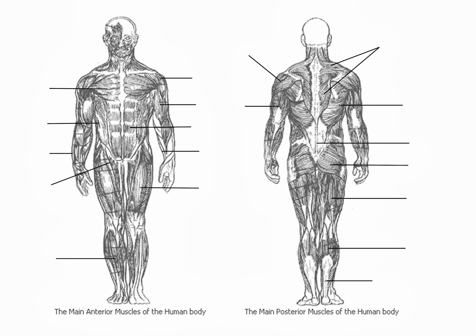 Blank Muscle Diagram Physio101spot 05