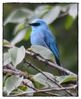 The Verditer Flycatcher