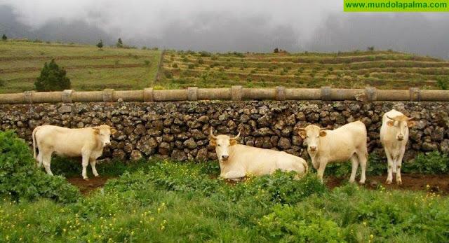 El Cabildo sigue apostando por la vaca palmera y organiza para los ganaderos unas jornadas sobre la formación morfológica de sus reses